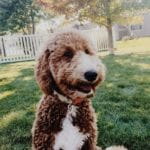 Red and white parti F1 goldendoodle