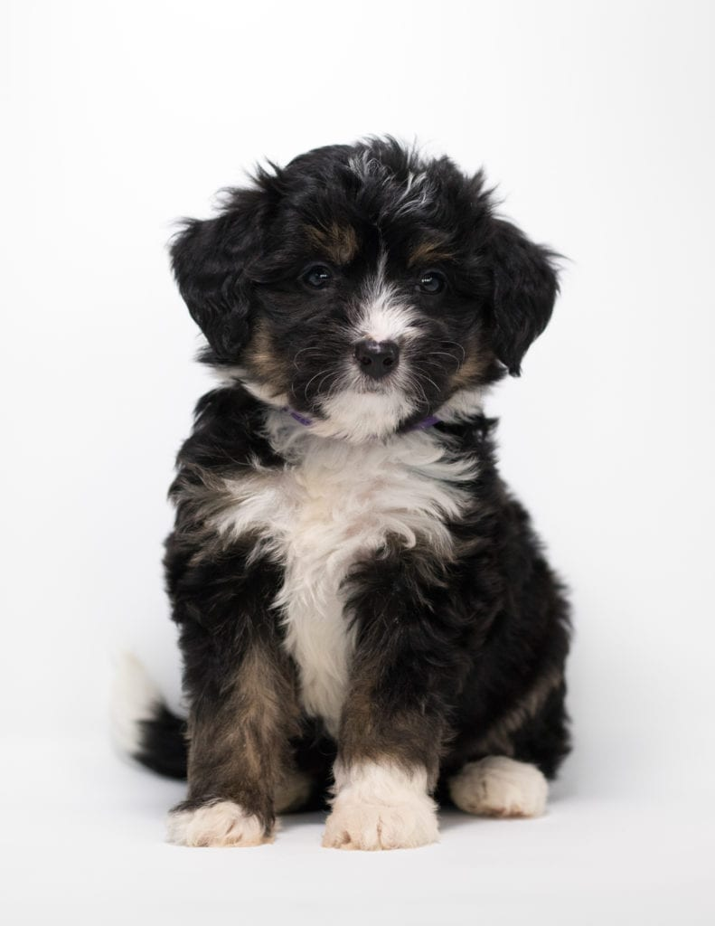 A picture of a Faith, one of our Mini Bernedoodles for sale