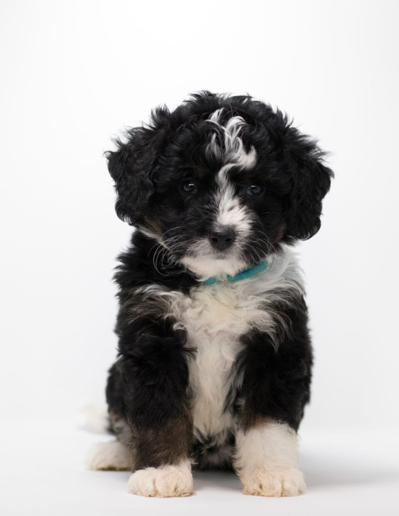Feni came from Tyrell and Stanley's litter of F1 Bernedoodles