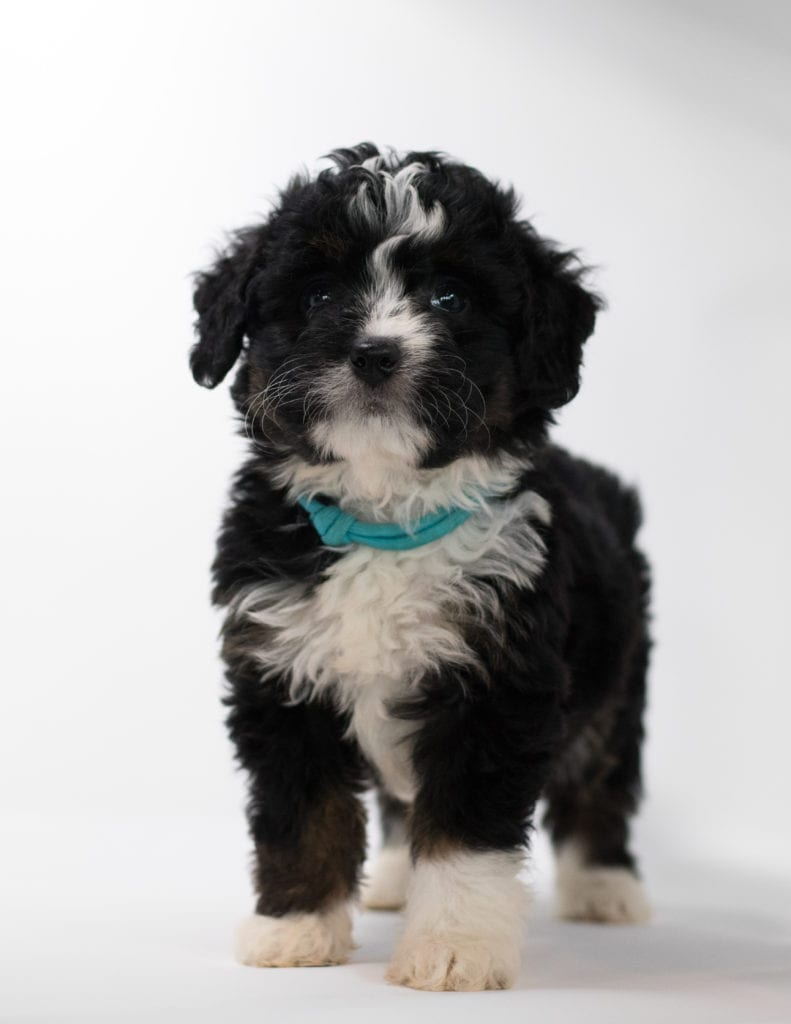 A picture of a Feni, one of our Mini Bernedoodles for sale