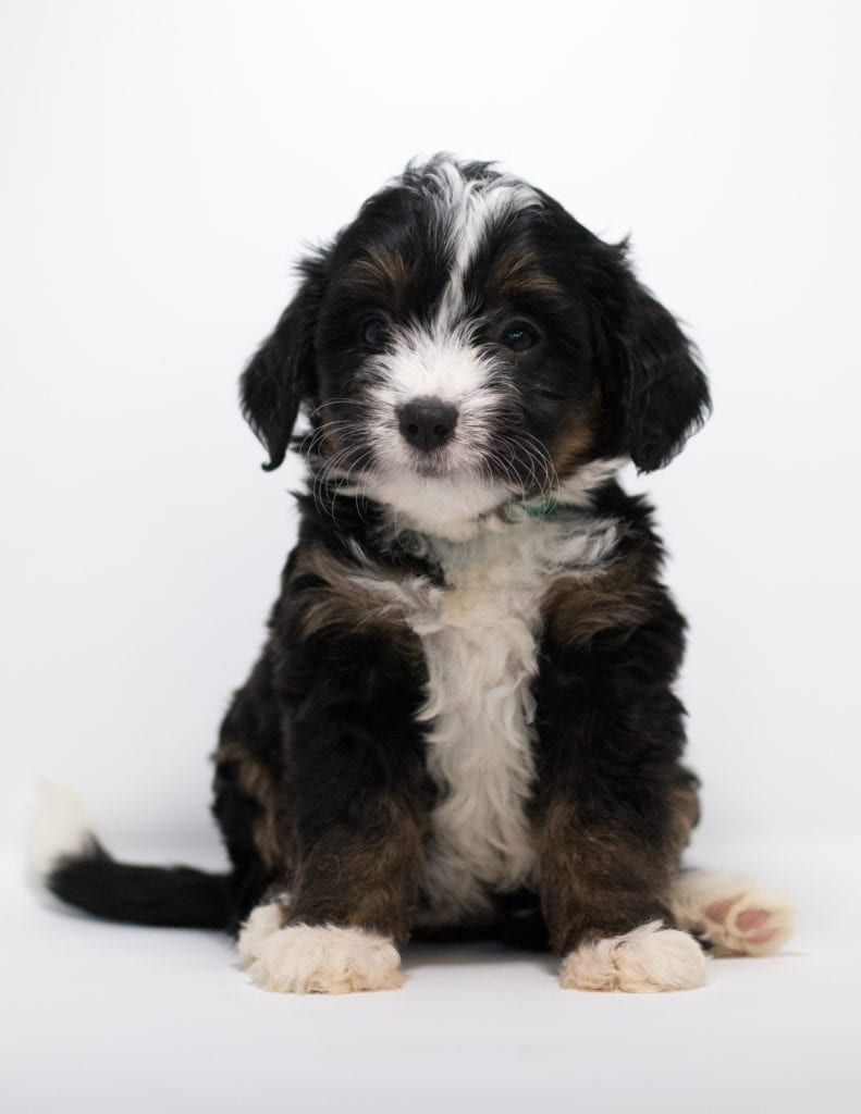 A picture of a Flair, one of our Mini Bernedoodles for sale