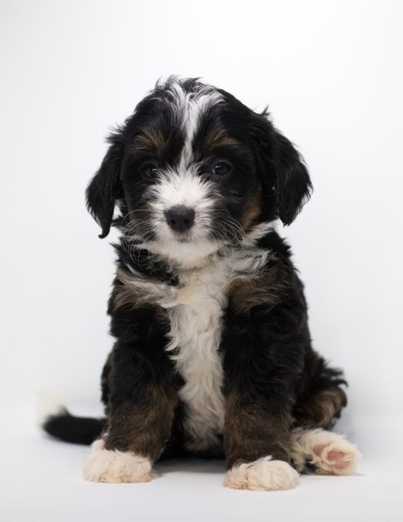 Flair came from Tyrell and Stanley's litter of F1 Bernedoodles