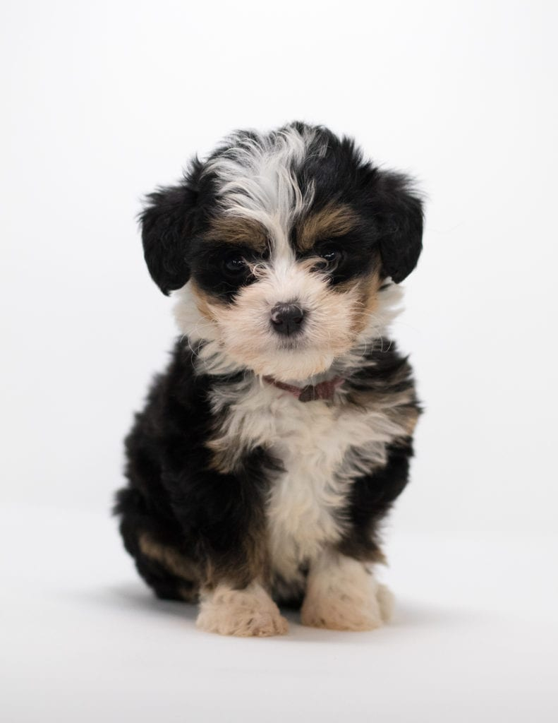 A picture of a Flora, one of our Mini Bernedoodles for sale