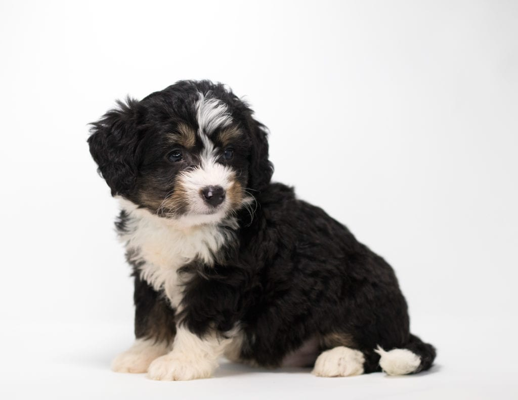 A picture of a Foz, one of our Mini Bernedoodles for sale