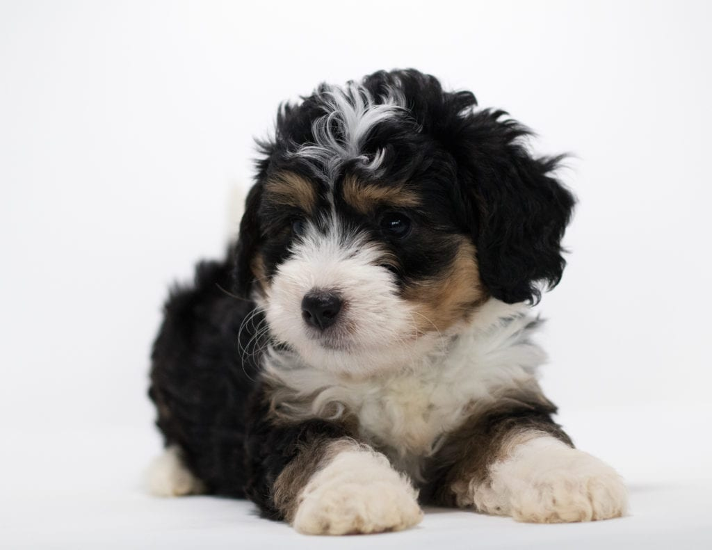 Fraya came from Tyrell and Stanley's litter of F1 Bernedoodles