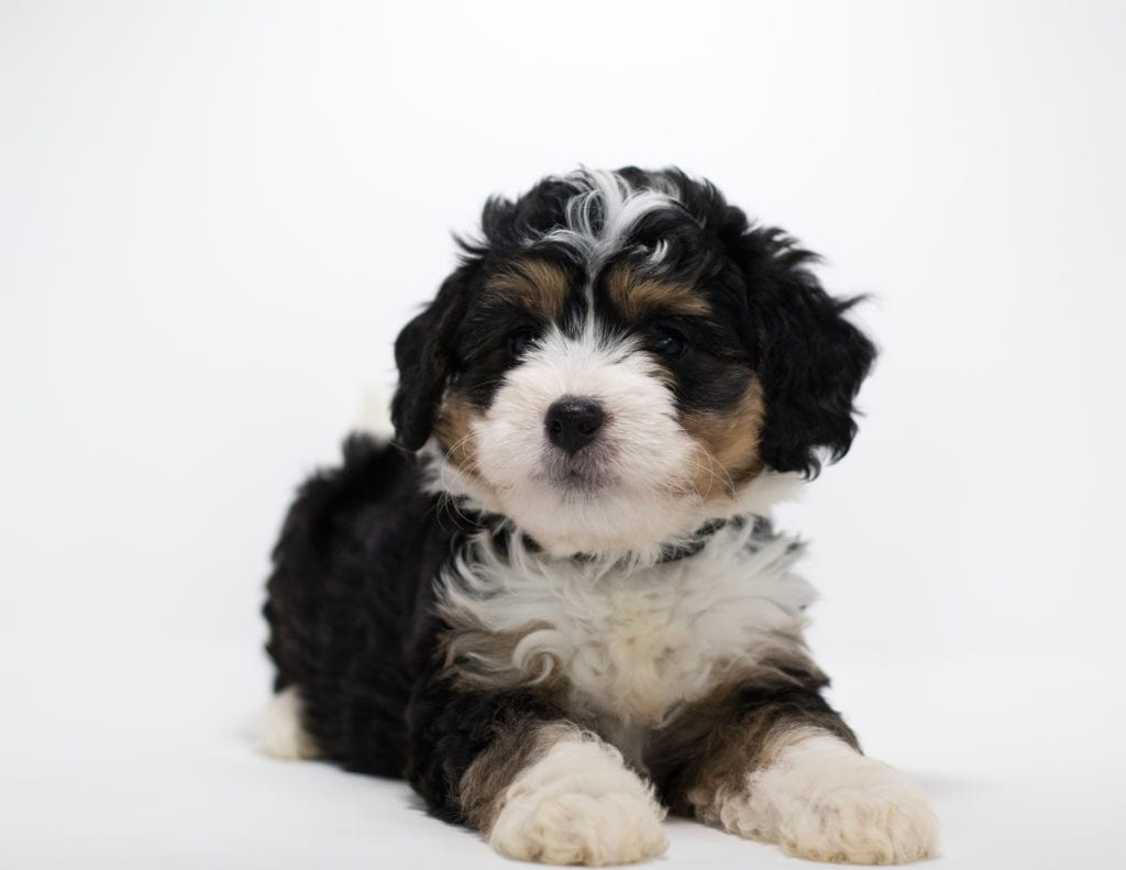 A picture of a Fraya, one of our Mini Bernedoodles for sale