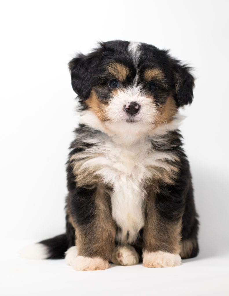 A picture of a Fredi, one of our Mini Bernedoodles for sale