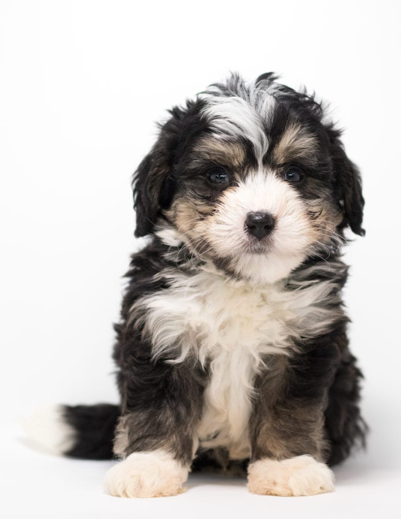 A picture of a Fritz, one of our Mini Bernedoodles for sale