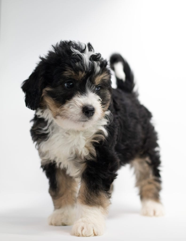 Frodo came from Tyrell and Stanley's litter of F1 Bernedoodles