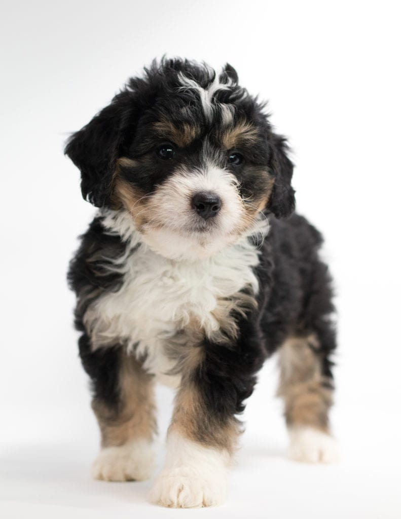 A picture of a Frodo, one of our Mini Bernedoodles for sale