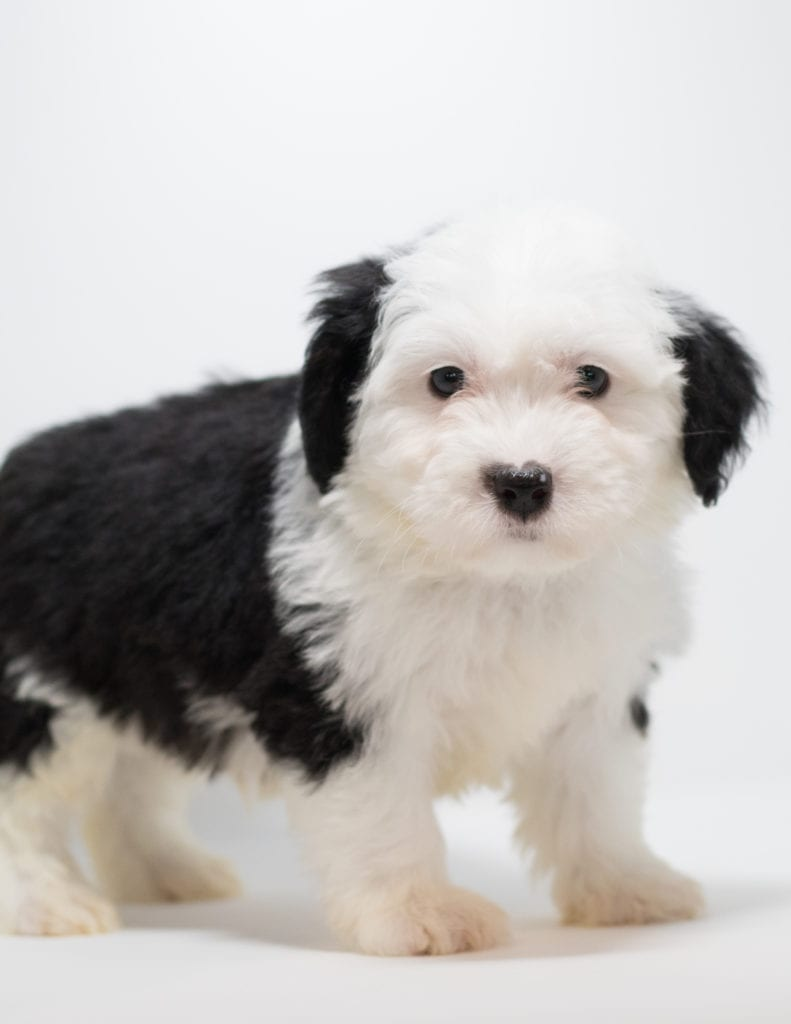 Gato is an F1 Sheepadoodle.