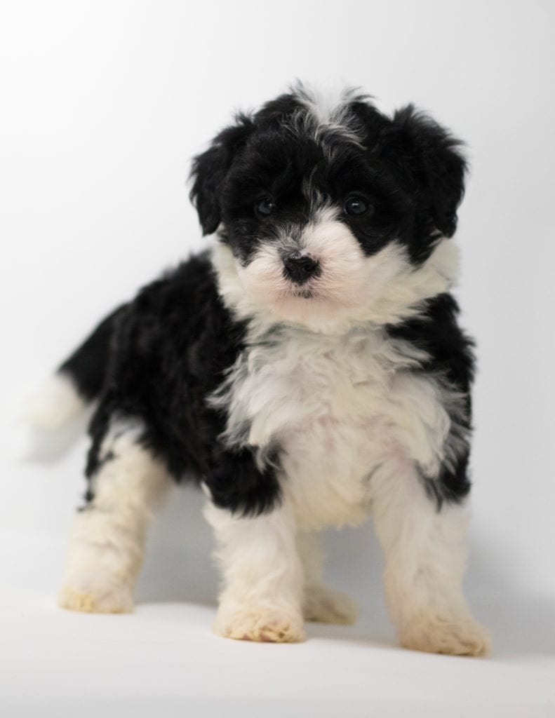 A picture of a Gia, one of our  Sheepadoodles for sale