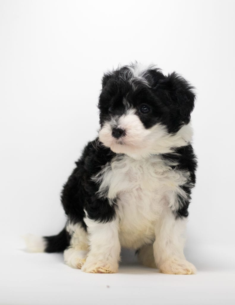 Gia is an F1 Sheepadoodle.