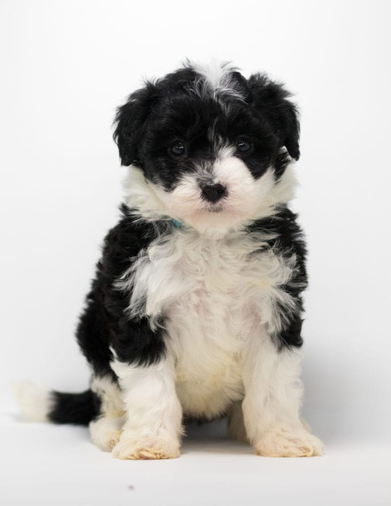 Gia came from Truffles and Stanley's litter of F1 Sheepadoodles