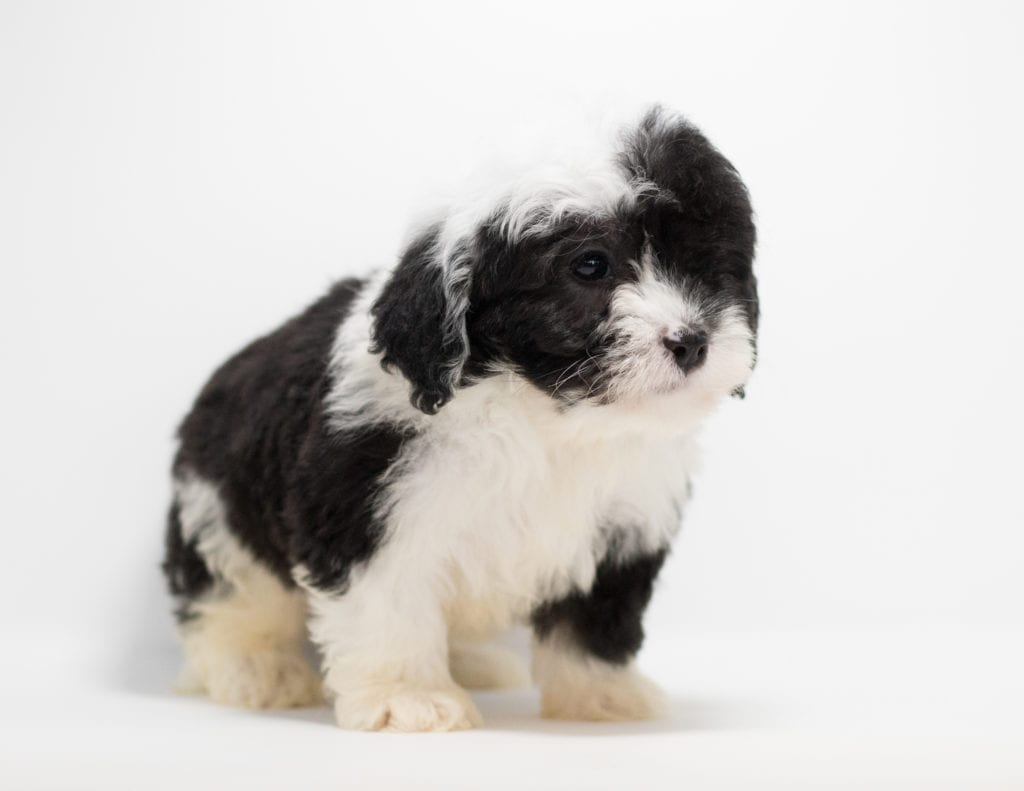 Gill is an F1 Sheepadoodle.