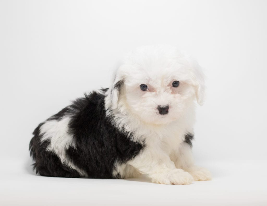 A picture of a Gizmo, one of our  Sheepadoodles for sale