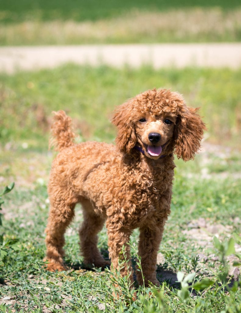 Cavapoos with hypoallergenic fur due to the Poodle in their genes. These Cavapoos are of the F1 generation. For more info on generations, view our specific breed page for Cavapoos.