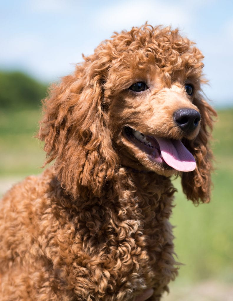 Mini Goldendoodle & Bernedoodle Puppies For Sale | Poodles 2