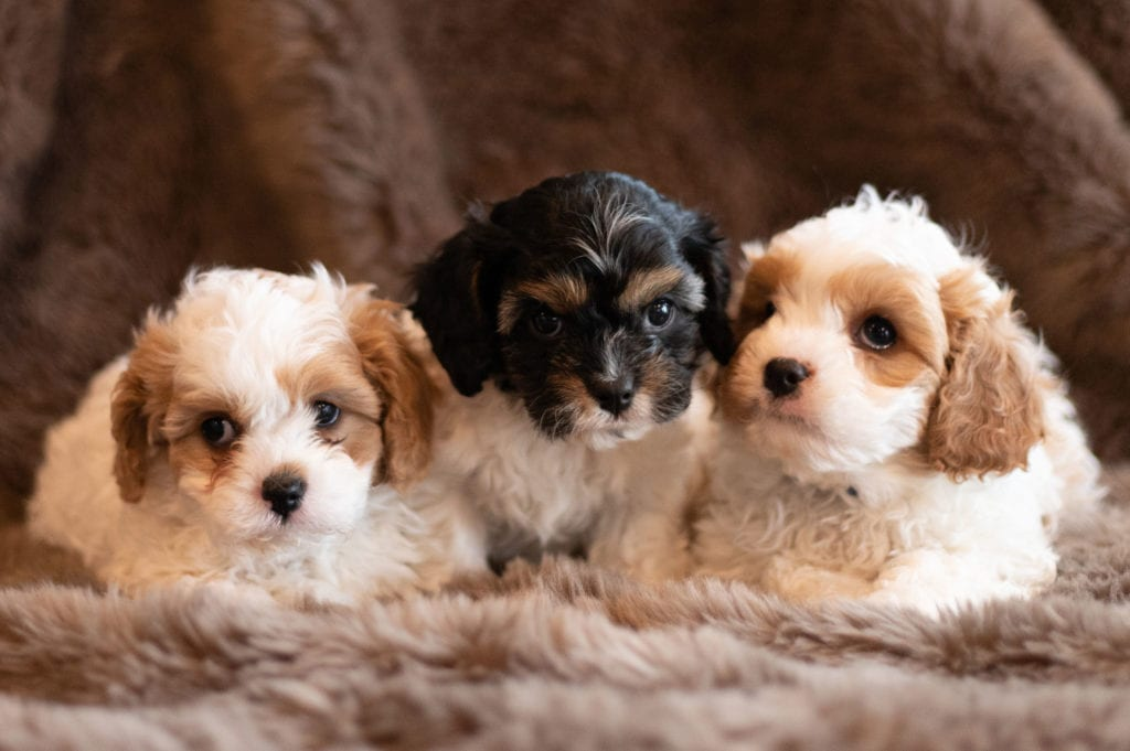 F1 Mini Cavapoos Puppies Tricolor and red and white parti coats