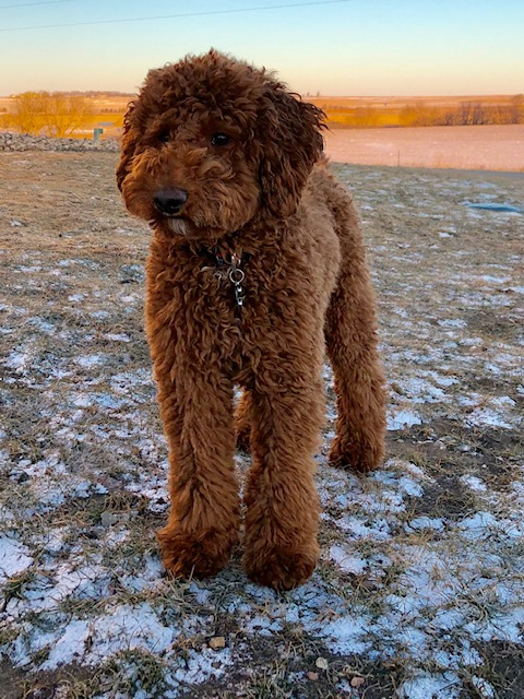 A picture of one of our Australian Labradoodle father's, Houston.