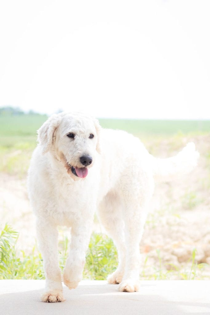 A picture of one of our Goldendoodle mother's, Maci.