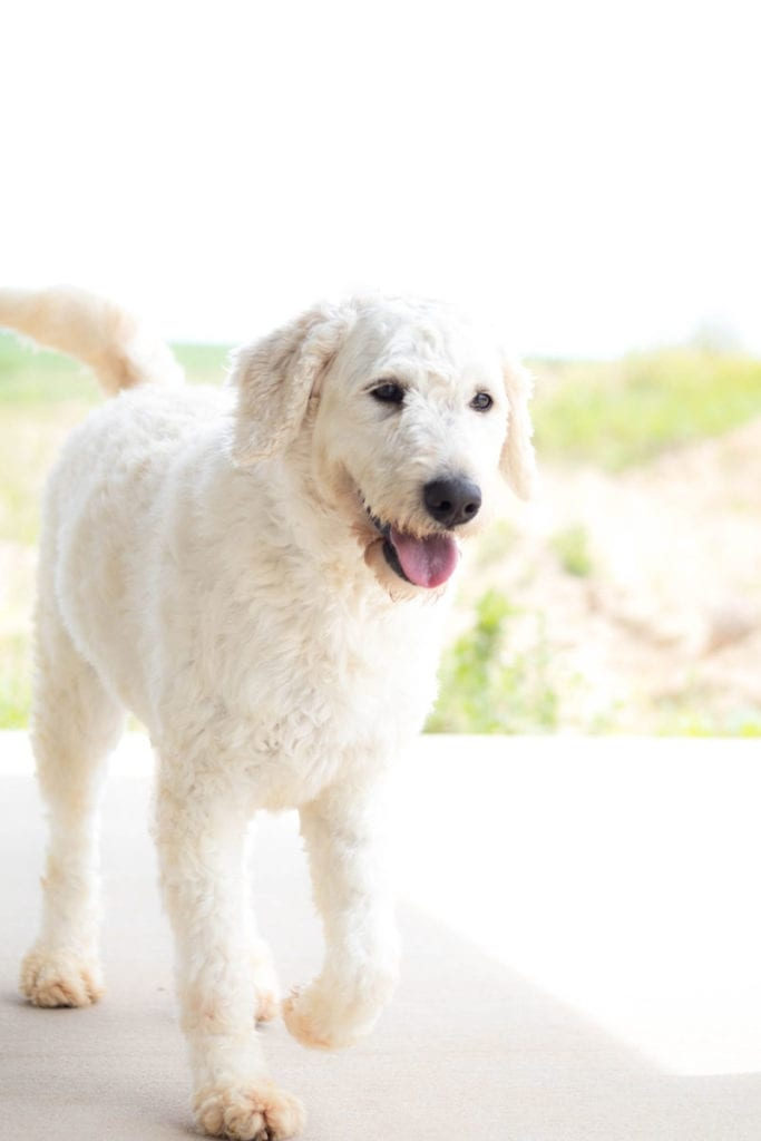 Maci is an F1 Goldendoodle and a mother here at Poodles 2 Doodles, Sheepadoodle and Bernedoodle breeder from Iowa