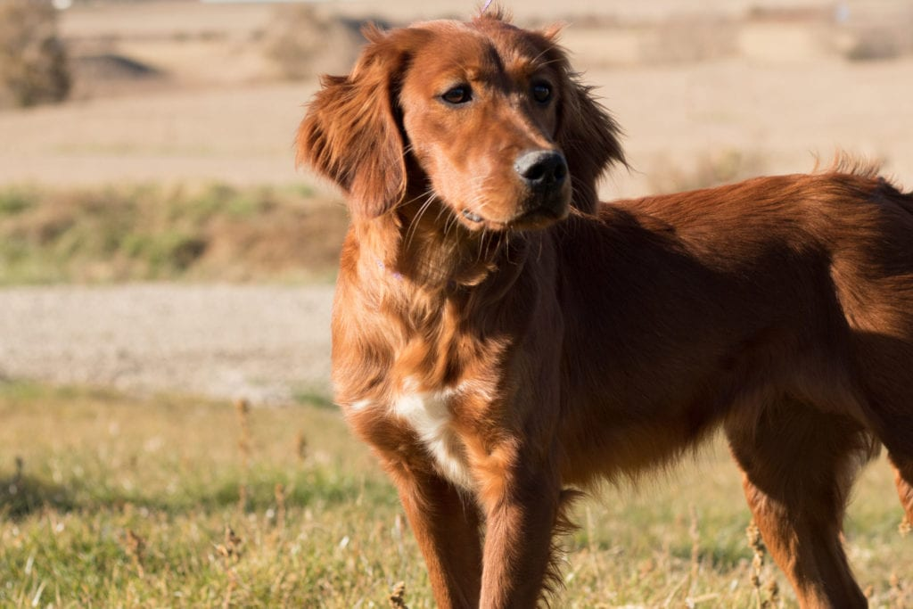 Ginger is an  Irish Setter and a mother here at Poodles 2 Doodles, a top breeder of Bernedoodle puppies