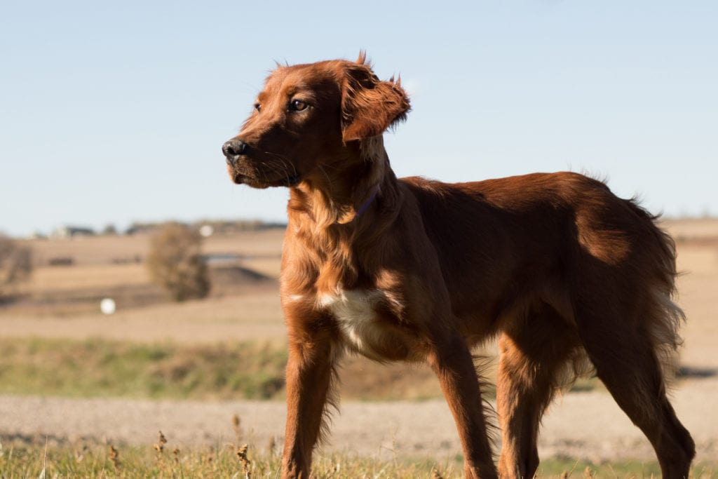 A picture of one of our Irish Setter mother's, Ginger.