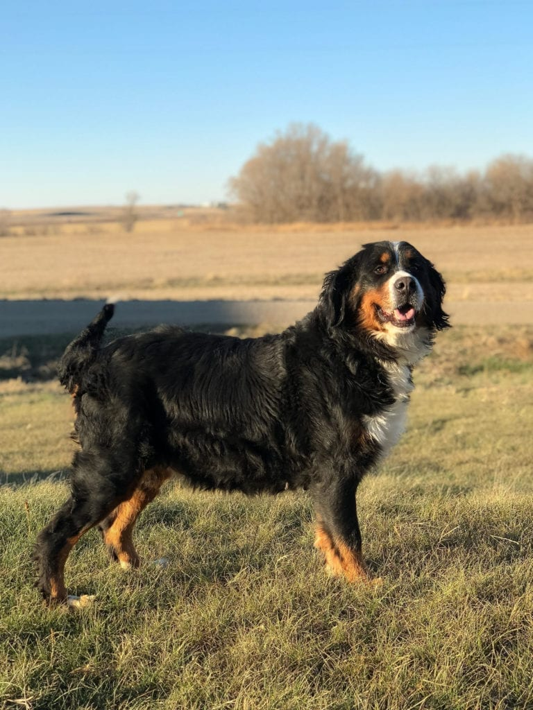 A picture of one of our Bernese Mountain Dog mother's, Kiaya.