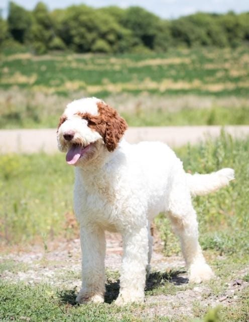 A picture of one of our Goldendoodle mother's, Paisley.
