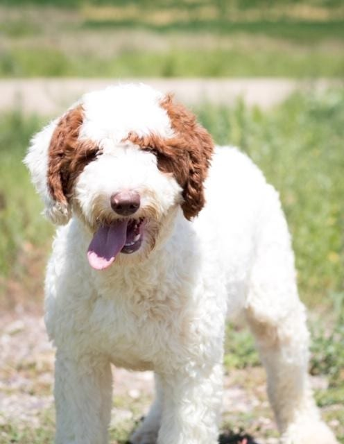 Paisley is an F1B Goldendoodle and a mother here at Poodles 2 Doodles, Sheepadoodle and Bernedoodle breeder from Iowa