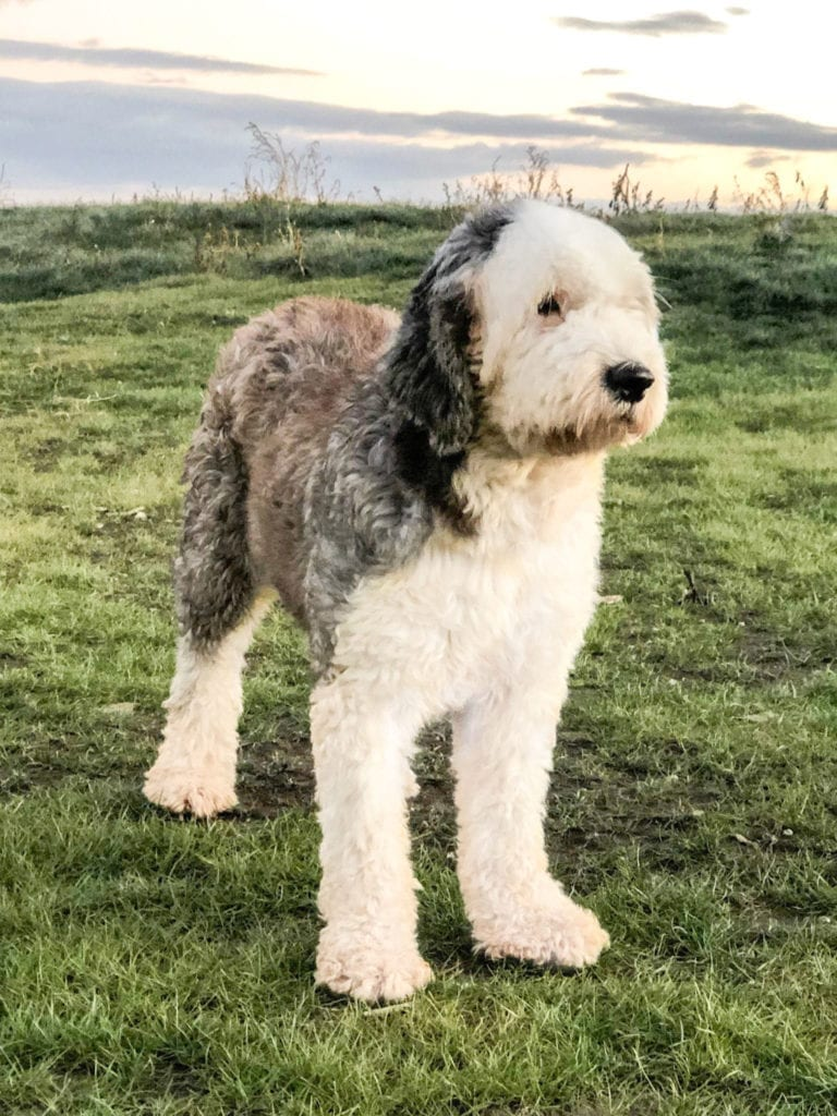 Shandy is an  Old English Sheepdog and a mother here at Poodles 2 Doodles, a top breeder of Bernedoodle puppies