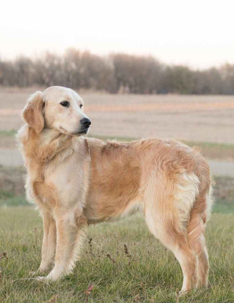 A picture of one of our Golden Retriever mother's, Sassy.