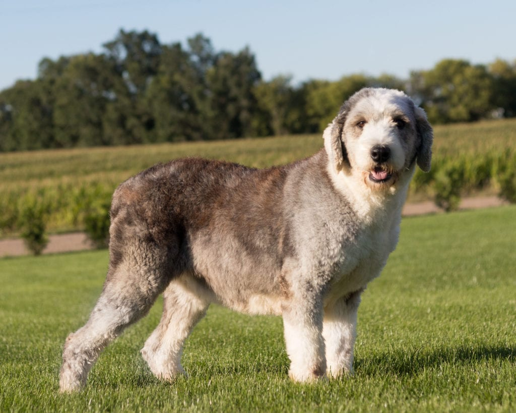 Truffles is an  Old English Sheepdog and a mother here at Poodles 2 Doodles, a top breeder of Bernedoodle puppies
