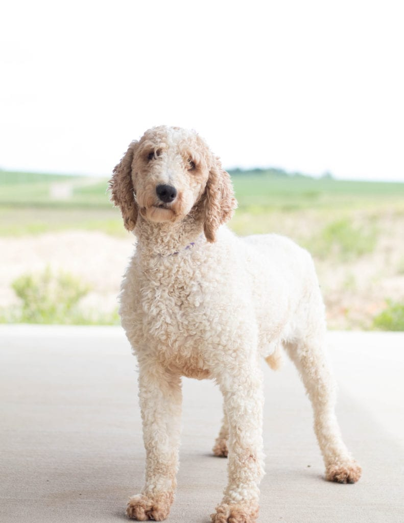 A picture of one of our Poodle mother's, Candice.