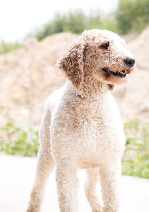 Candice is an  Poodle and a mother here at Poodles 2 Doodles, a top breeder of Bernedoodle puppies