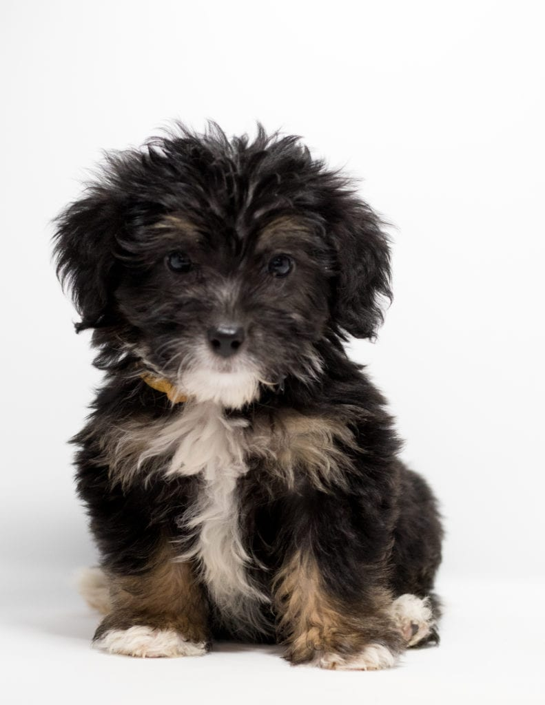 A picture of a Fay, one of our Mini Bernedoodles for sale
