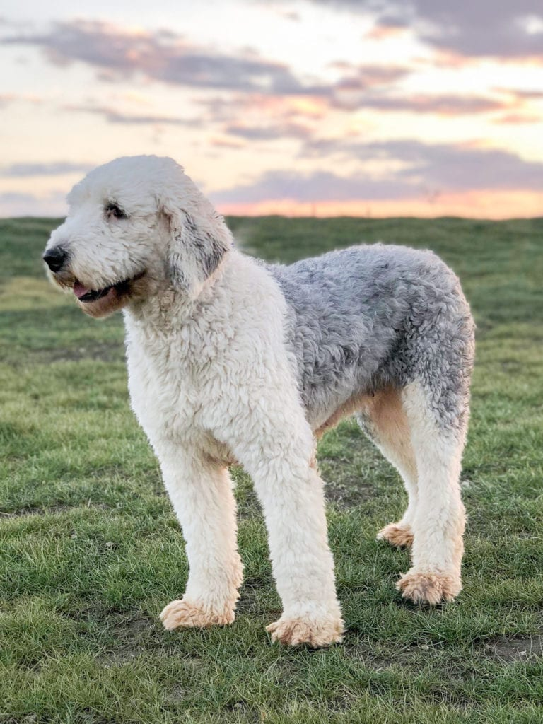 Piper is an  Old English Sheepdog and a mother here at Poodles 2 Doodles, a top breeder of Bernedoodle puppies