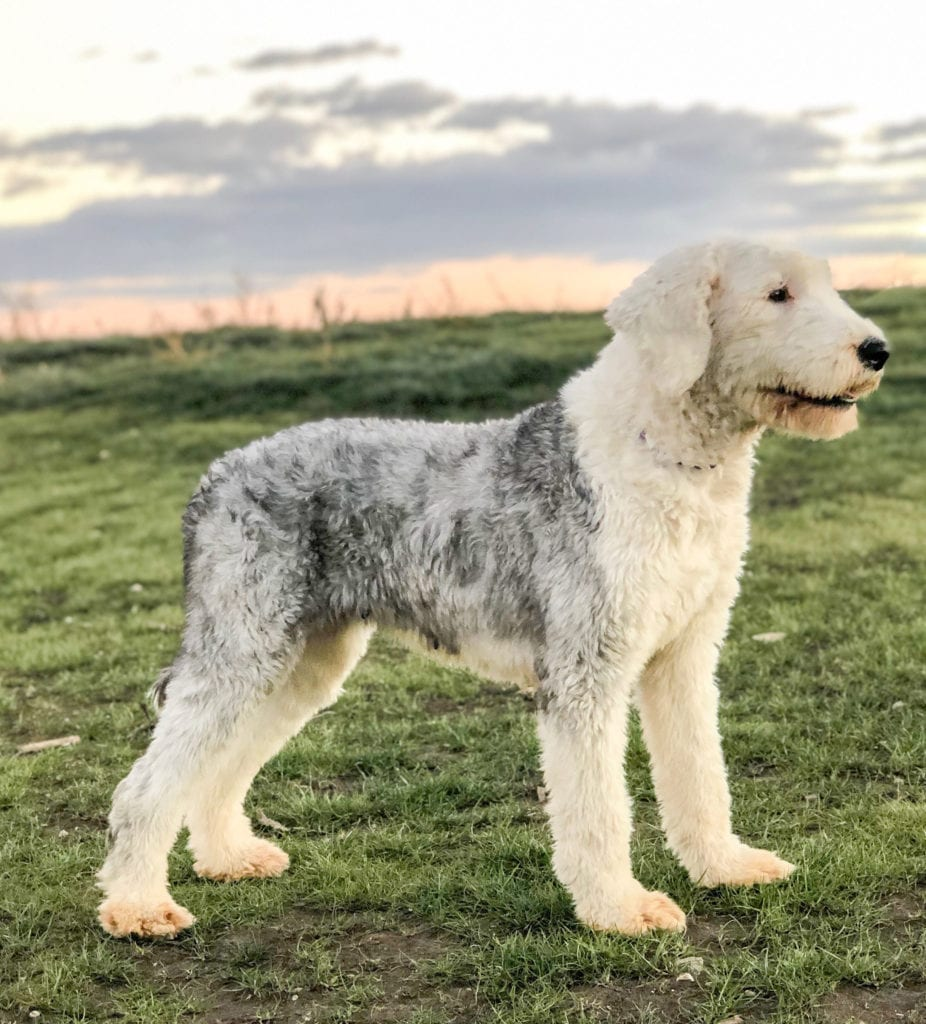 Kami is an  Old English Sheepdog and a mother here at Poodles 2 Doodles, a top breeder of Bernedoodle puppies