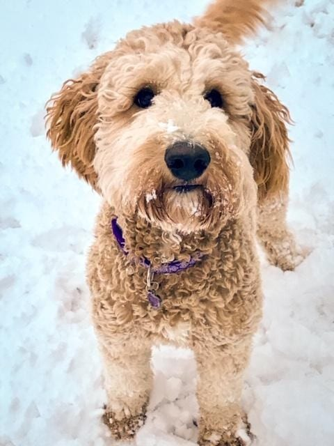 Tatum is an F1B Goldendoodle and a mother here at Poodles 2 Doodles, Sheepadoodle and Bernedoodle breeder from Iowa