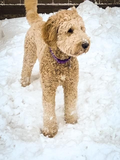 A picture of one of our Goldendoodle mother's, Tatum.