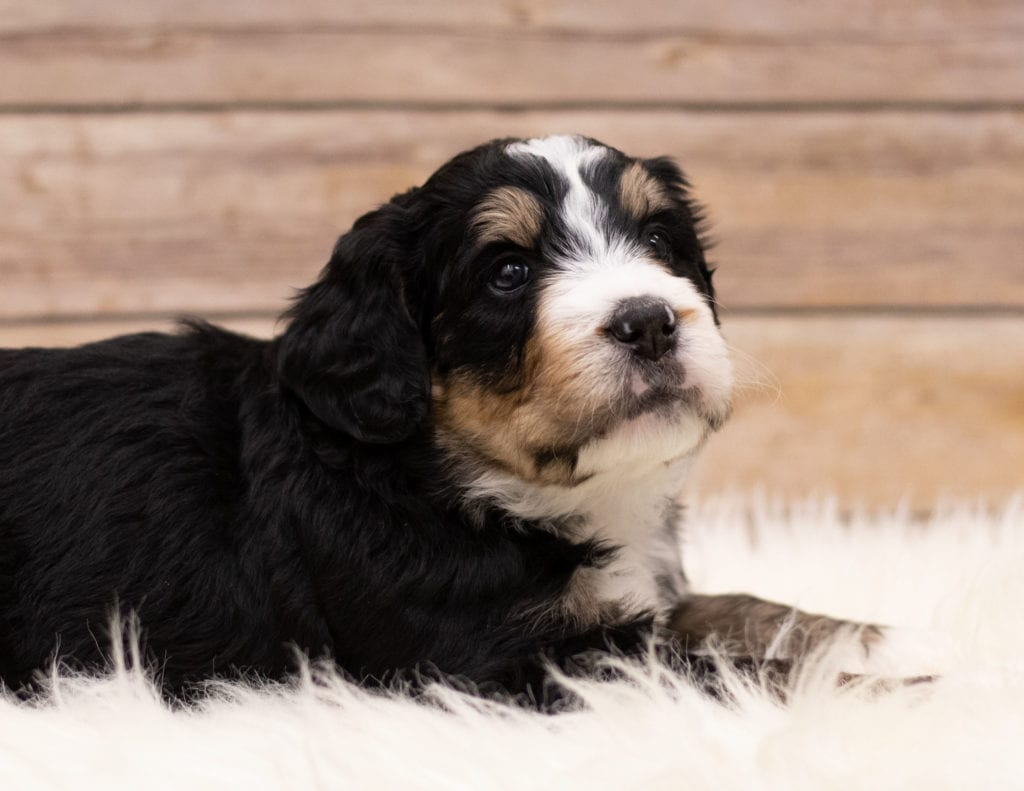 "Ida is an F1 Bernedoodle that will be hypoallergenic. Read more about what a dog being hypoallergenic means on our latest blog post, ""The New Breed Everyone Seems to Want"""