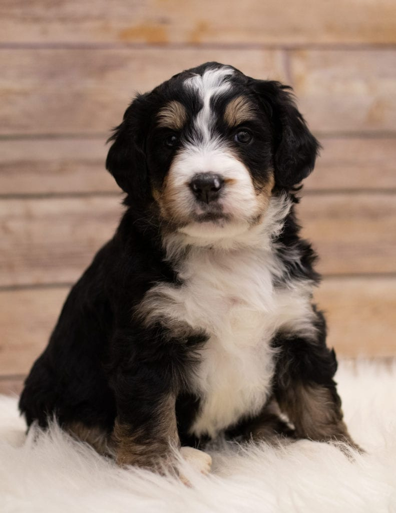 A picture of a Ida, one of our Standard Bernedoodles for sale