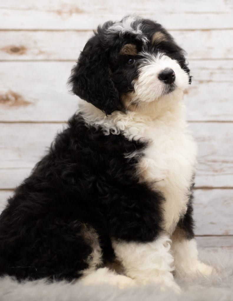 Ice came from Kiaya and Bentley's litter of F1 Bernedoodles