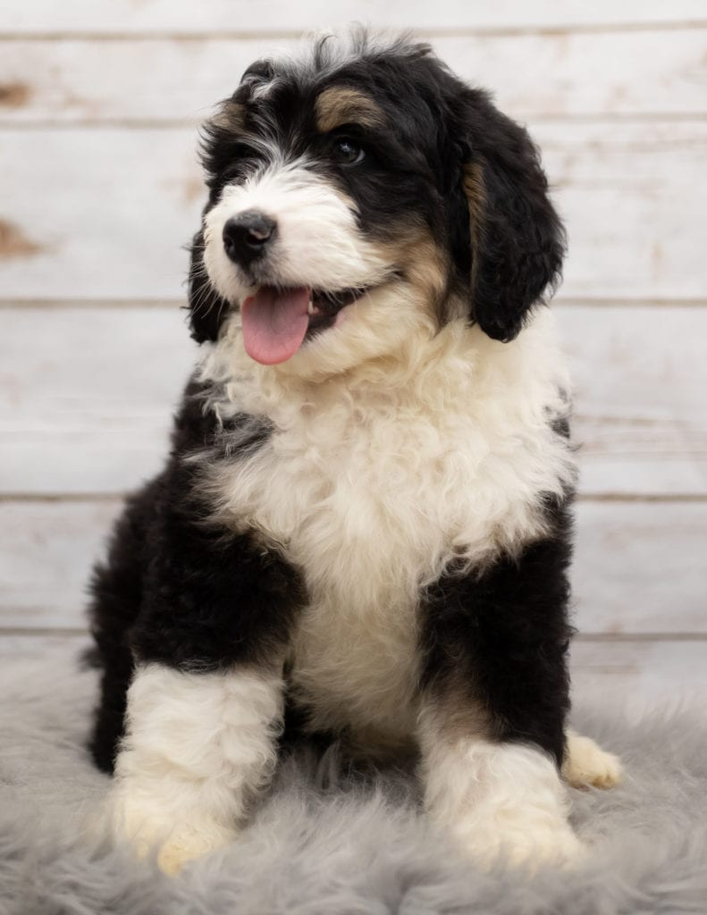 Ice is an F1 Bernedoodle that should have  and is currently living in Nebraska