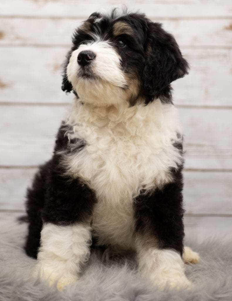 A picture of a Ice, one of our Standard Bernedoodles puppies that went to their home in Nebraska