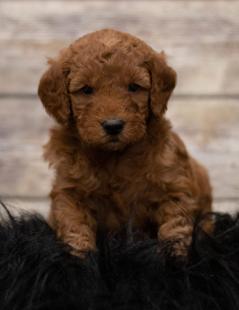 A picture of a Hess, one of our Mini Goldendoodles for sale
