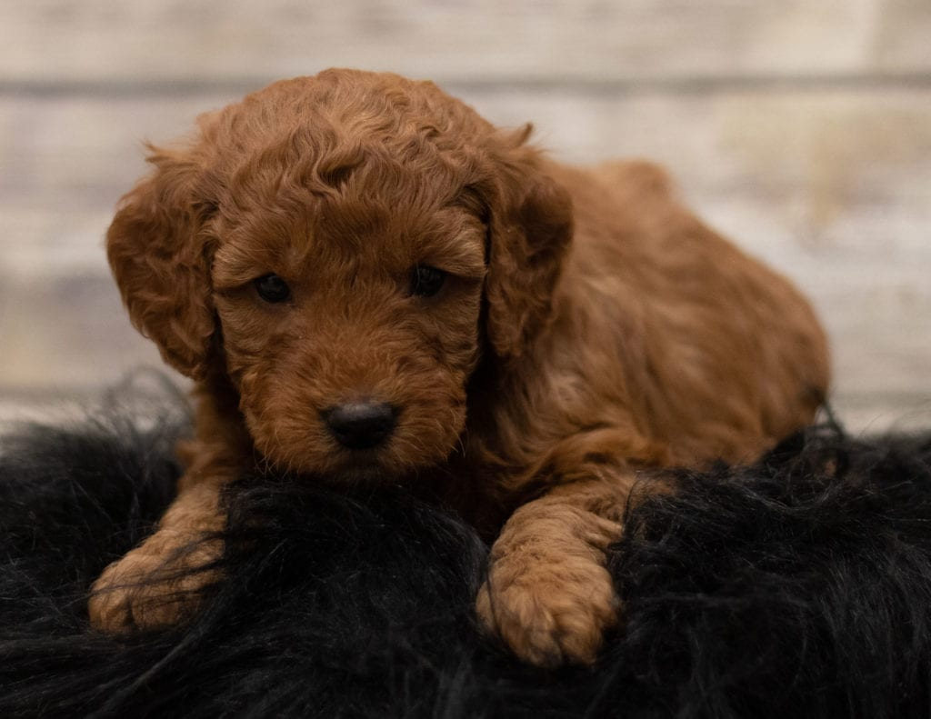 Hess came from Hess and Griffin's litter of F1 Goldendoodles