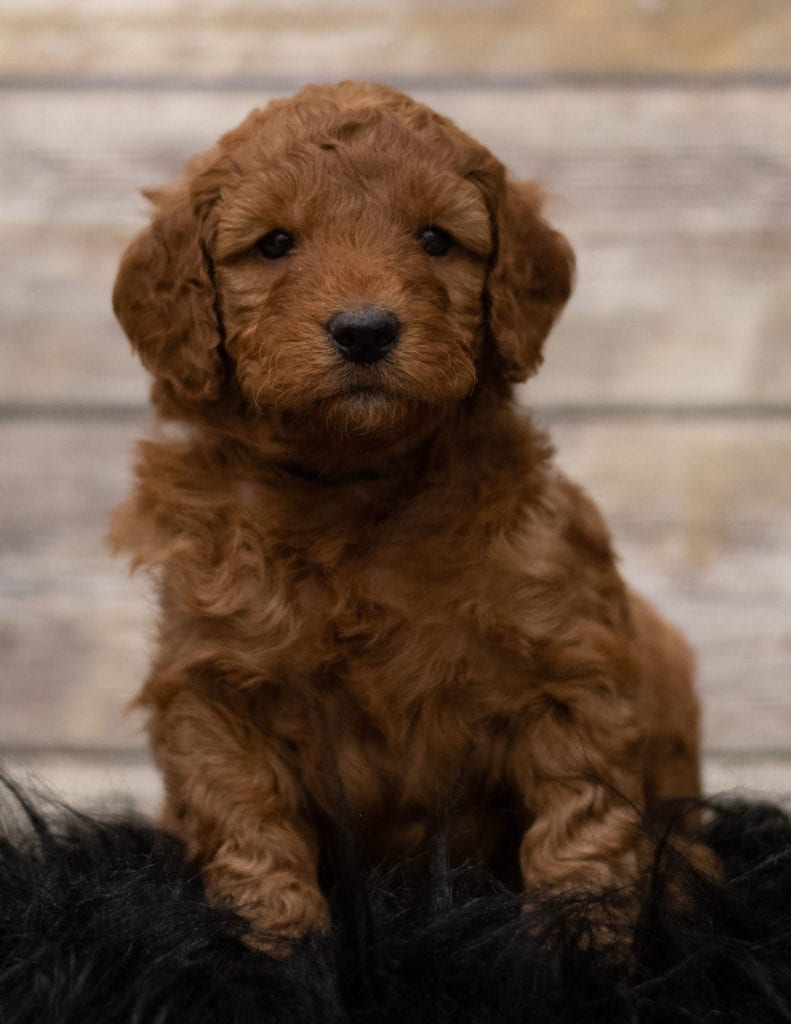 Hess is an F1 Goldendoodle.