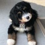 Mini Bernedoodle Tri Colored
